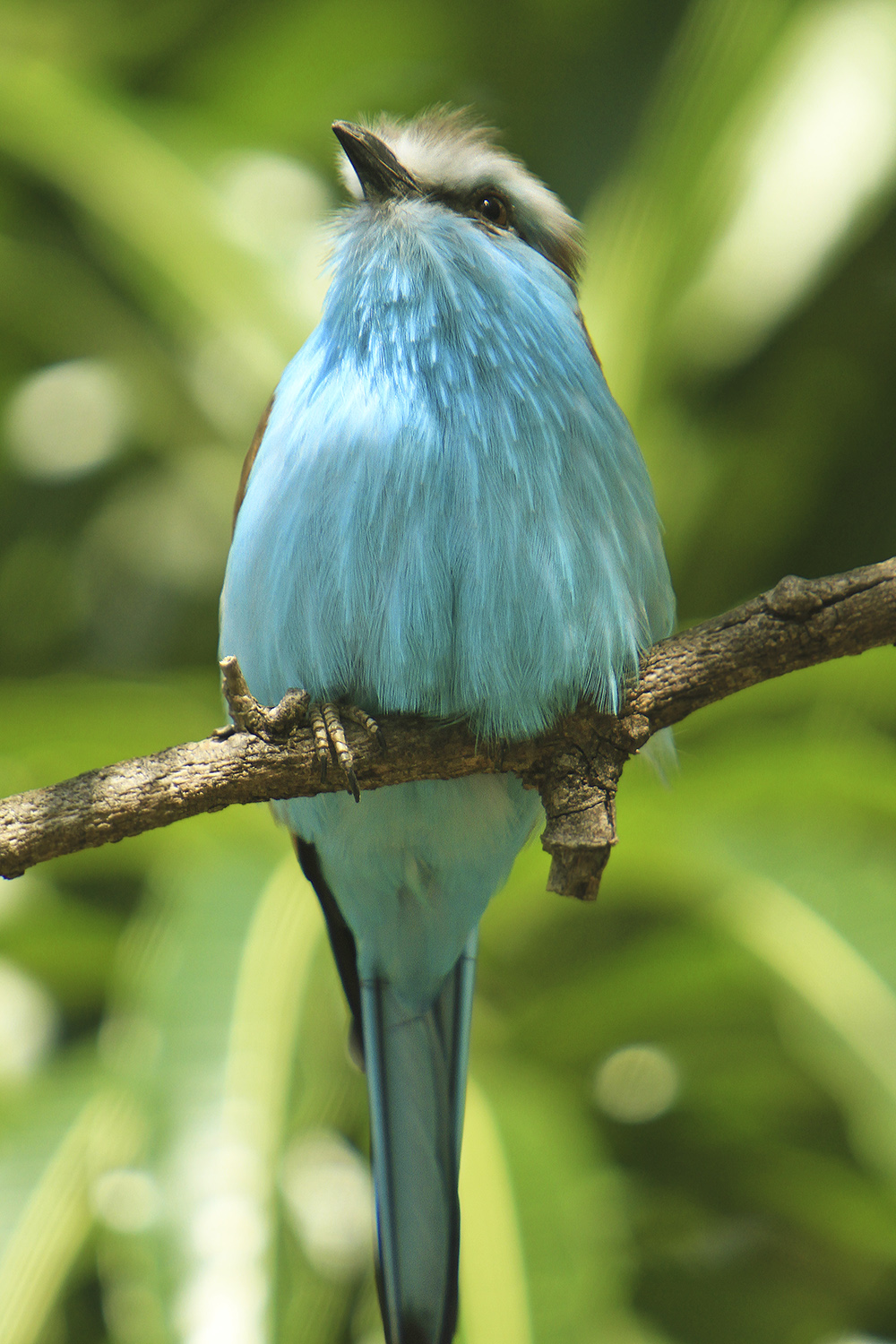 Beautiful Blue Breasted Bird found in tropics.